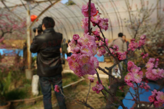 青岛梅花节
