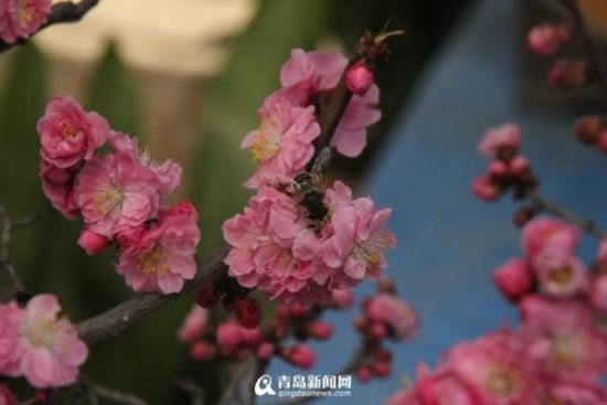 青岛十梅庵的梅花开了 赏花正当时