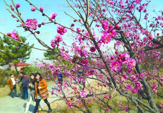 十梅庵公园青岛梅园内梅花盛开,令游客流连忘返。
