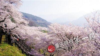綦江首届樱花节