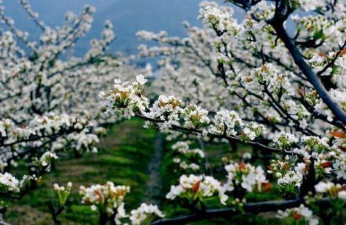 树山梨花节