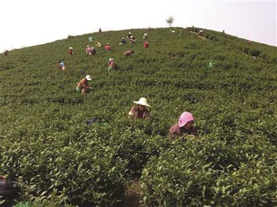 茶场工人会教你采茶